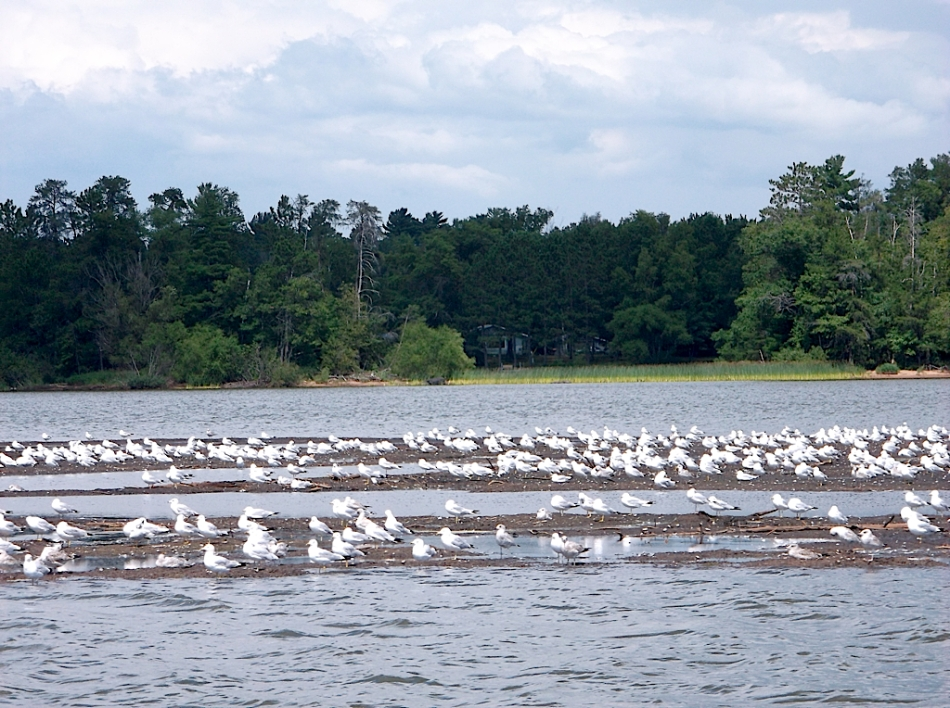 Seagulls on Bogs on Lake Nokomis